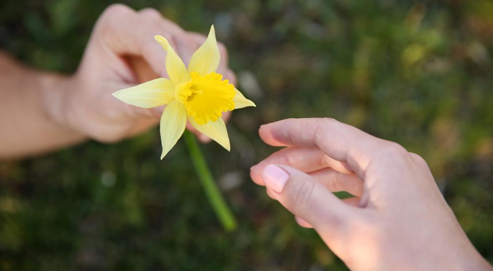 daffodil day - photo #29